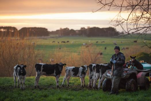 Man in a paddock with cows